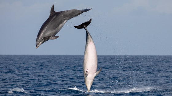 Madeira Whale Watching Common Bottlenose Dolphin Tursiops Truncatus