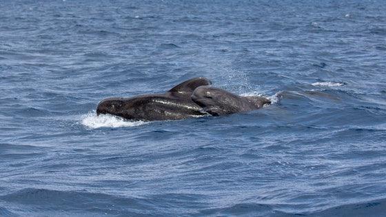 Madeira Whale Watching Short Finned Pilot Whale Globicephala Macrorhynchus
