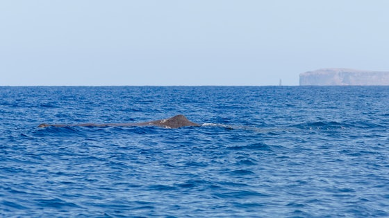 Madeira Whale Watching Sperm Whale Physeter Macrocephalus