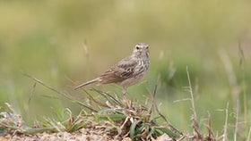 Madeira Birdwatching Berthelot Pipit Anthus Berthelotii