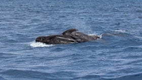 Madeira Whale Watching Short Finned Pilot Whale Globicephala Macrorhynchus
